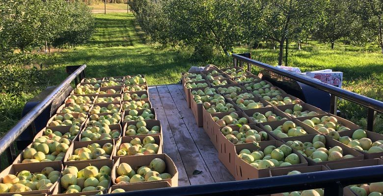 Dixon's Apple Orchard's Coveted Champagne Apple Finally Harvested – As Seen on Kare 11
